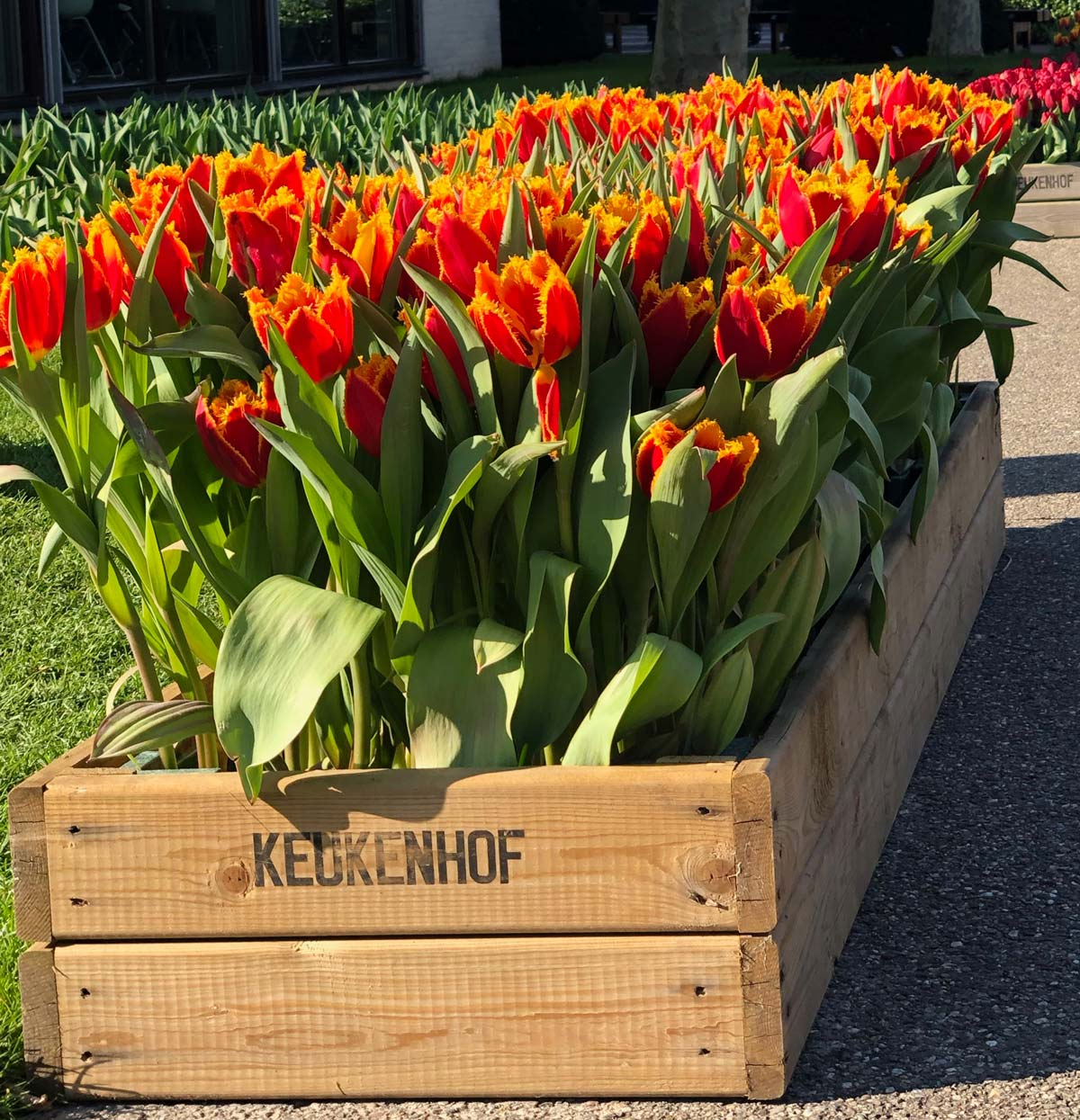 Interesting Facts about Keukenhof Tulips | Flower Gifts | Hamper World