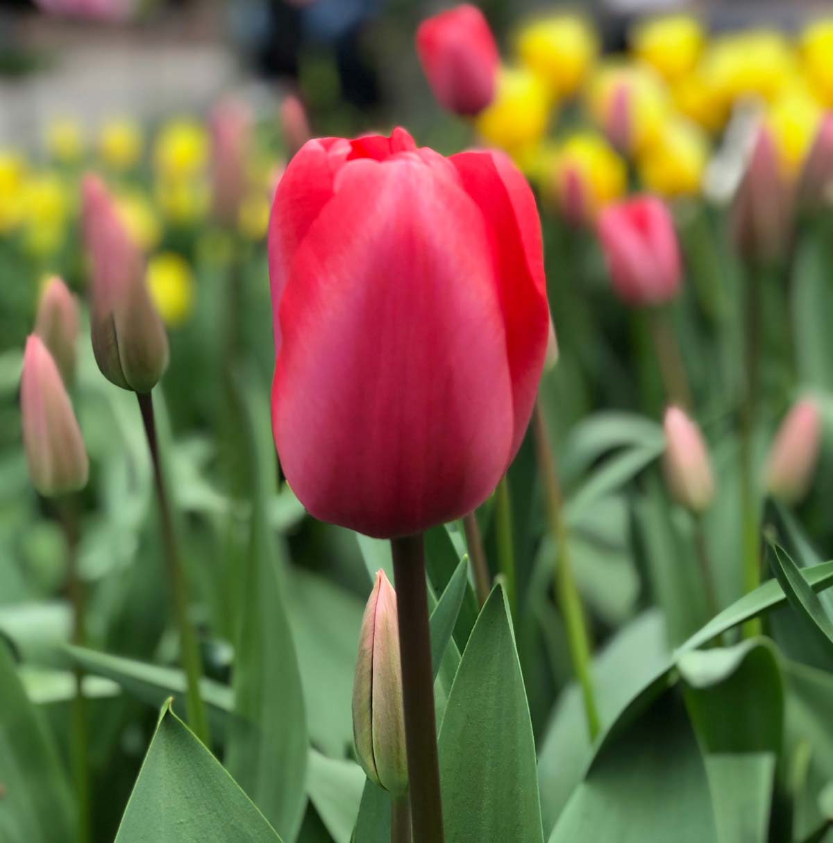 Interesting Facts about Tulips | Flower Gifts | Hamper World