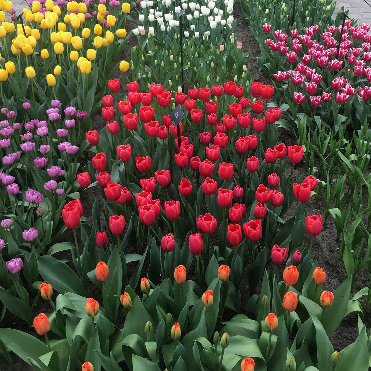 Interesting Facts about Tulips Colours | Flower Gifts | Hamper World