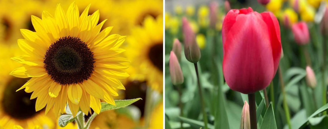 Floral Gift Bouquets spotlight on Sunflowers and Tulips Hamper World