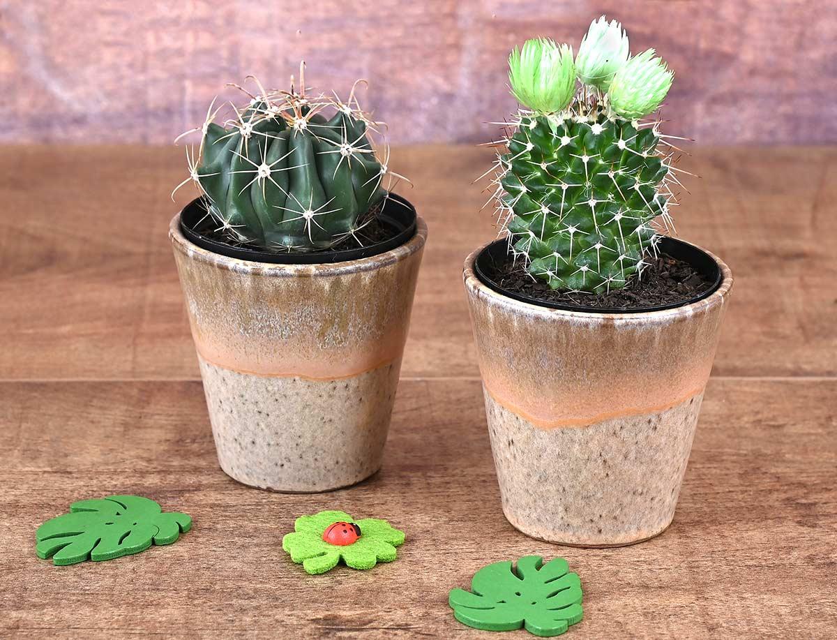 2 Cacti In Brown Pots   Hamper World