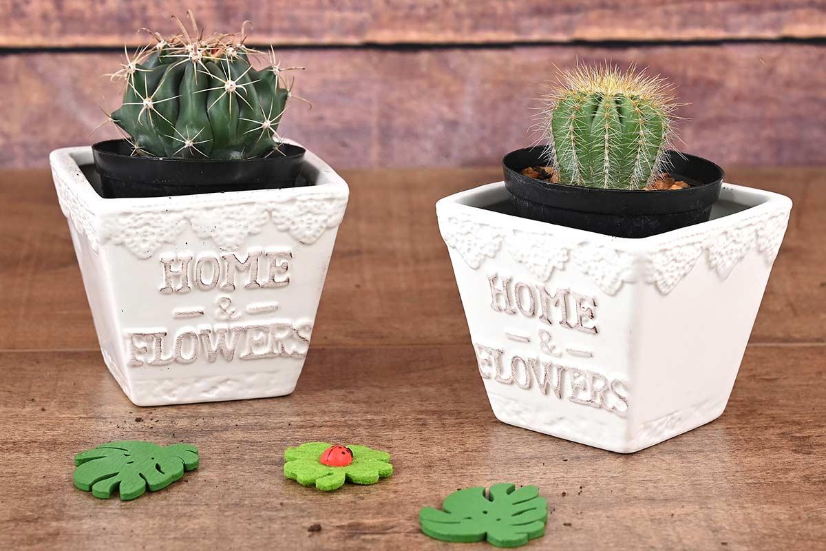 2 Cacti In White Pots | Hamper World